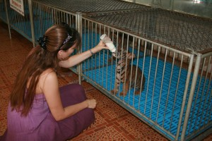 Bottle Feeding Baby Tiger Thailand