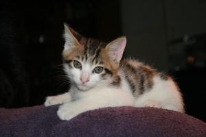 Japanese spotted tabby bobtail Runt as a kitten