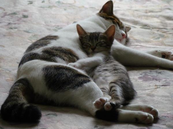 Runt mothing the shelter foster kitten, Mermista